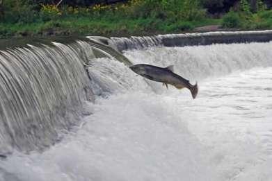 salmon-run-600x401